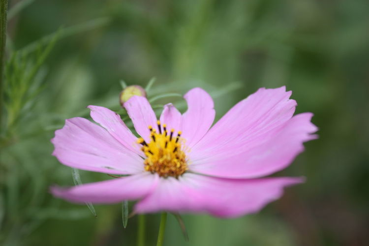 Beauty In Nature Close-up Cosmos Flower Day Flower Flower Head Flowering Plant Focus On Foreground Fragility Freshness Growth Inflorescence Nature No People Outdoors Petal Pink Color Plant Pollen Purple Vulnerability  The Great Outdoors - 2018 EyeEm Awards The Still Life Photographer - 2018 EyeEm Awards