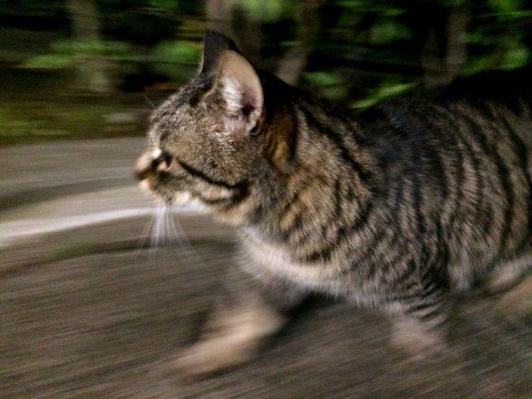 夜ねこ キジトラ Stray Cat 野良猫 走り猫