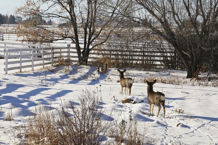 Deer in back yard during winter
