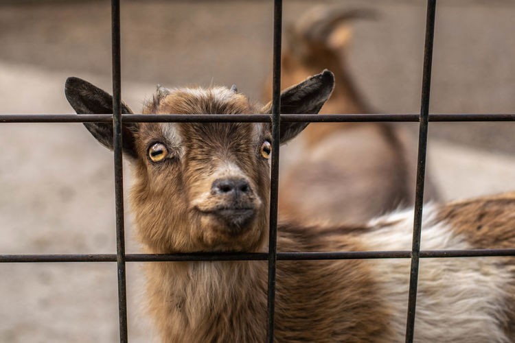 Close-up portrait of a goat against fence at zoo