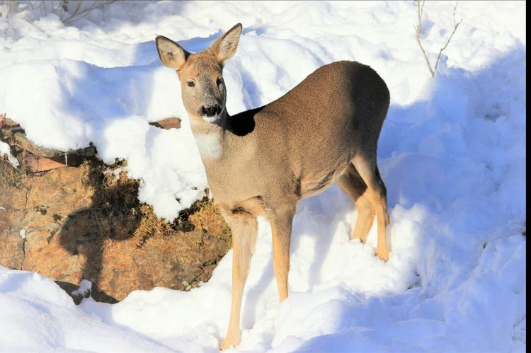 Deer Snow Animals In The Wild Animal Themes Nature Animal Wildlife Outdoors Beauty In Nature Winter Eyem Nature Lovers  Nature_collection Nature Photography Animal_collection Looking At Camera No People Eyem Gallery Winter_collection