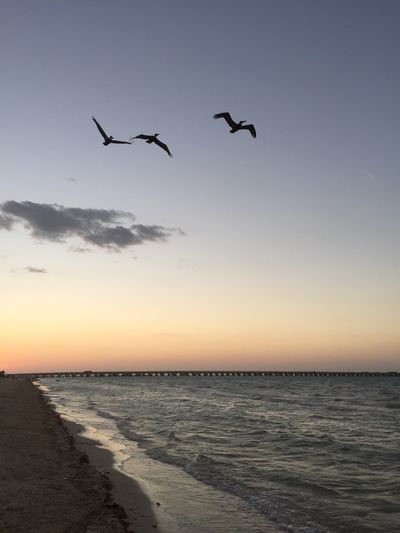 Bird Flying Sea Sunset Animals In The Wild Animal Themes Water Horizon Over Water Sky Nature Clear Sky No People Tranquil Scene Outdoors Beach Tranquility Scenics Beauty In Nature Animal Wildlife Spread Wings Flying Bird Flying Over Your Imagination Beach Day Flyingbirds Flying Home