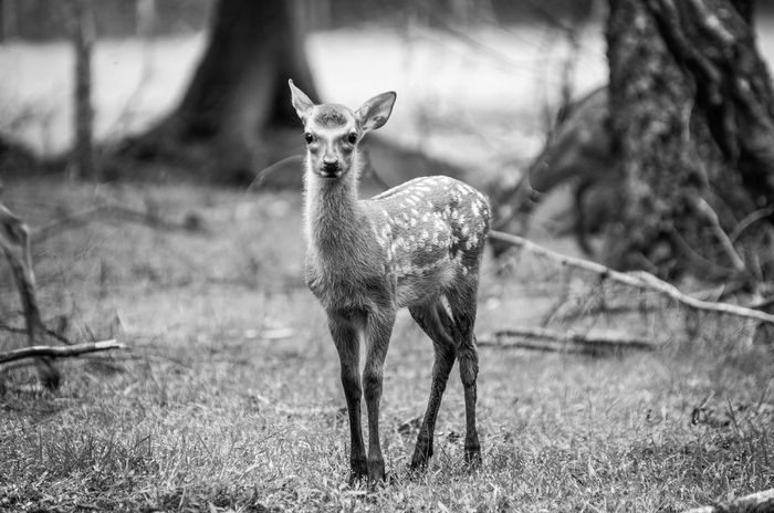 Alertness Animal Animal Themes Beauty In Nature Blackandwhite Day Deer Fawn Field Focus On Foreground Grass Grassy Growth Horned Landscape Mammal Nature No People Outdoors Portrait Selective Focus Sikadeer Tranquility