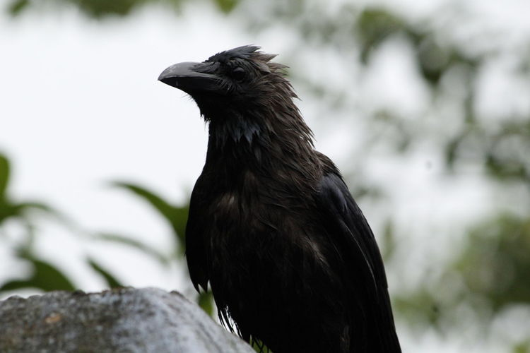 Bird Black Color Raven - Bird Animal Wildlife Outdoors Animals In The Wild Close-up Nature One Animal No People Day Winter Portrait Vulture Perching Tree Bird Of Prey