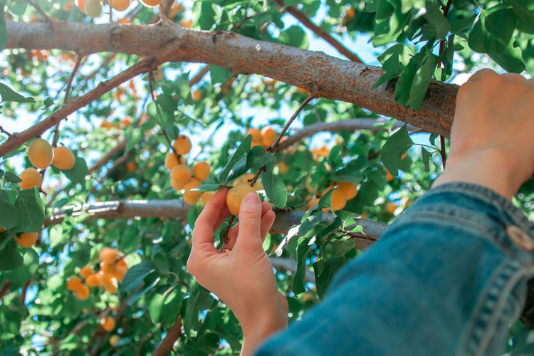 Woman picking fresh orange apricots from the tree.