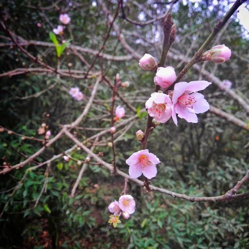 Blossoms jf the