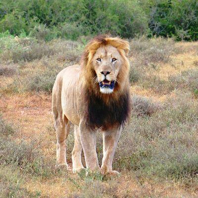 Lion in Addo , Natureaddict Animalsaddict Squaredroid Wildlife Africa Naturelover_gr Nature_cuties Wildlife_seekers Wildlife_perfection Animalelite Ic_animals Animal_captures Bns_animals