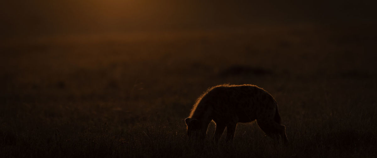 Silhouette hyena on field during sunset