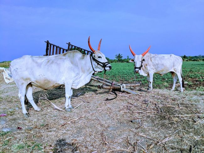 These bulls are used for various work related with farming.... Agriculture Bull EyeEmNewHere Bulls Bullock Cart White Bull Farm Rural India Animals Working Animal Rural Scene Sky Agricultural Field Farmland Cultivated Land