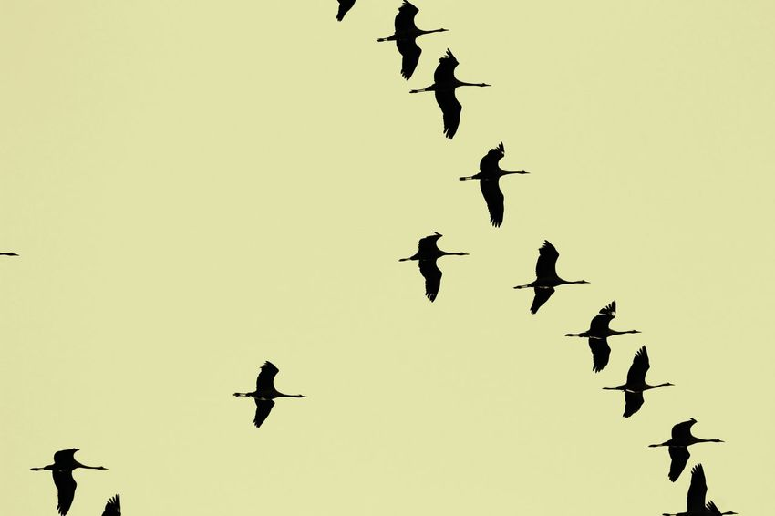 Crane Bird Bird Birds_collection Animal_collection Animals In The Wild Flock Of Birds Large Group Of Animals Flying Animal Wildlife Outdoors Animal Themes No People Sky Sky Collection Nature EyeEm Nature Lover Silhouette Minimalism 14 Traveling Home For The Holidays Let's Go. Together.