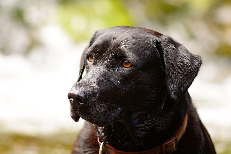 Close-up of wet black labrador