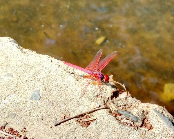 Dragonfly Pink Dragonfly Macro Photography Macro Beauty Flies Pink Unique Beauty Non-urban Scene