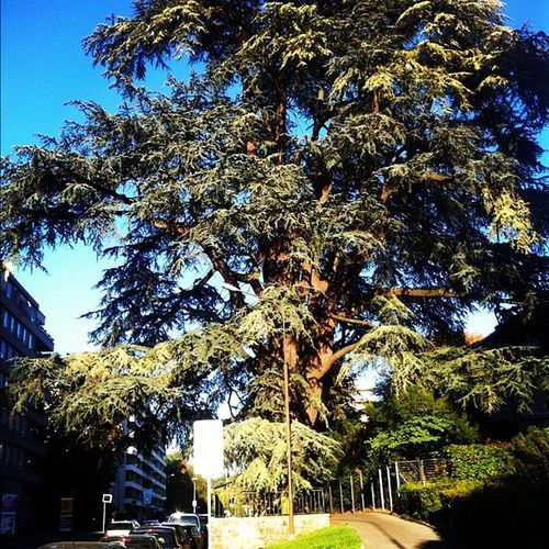 A mammoth tree on my way made my day... #ilovetrees Ilovetrees