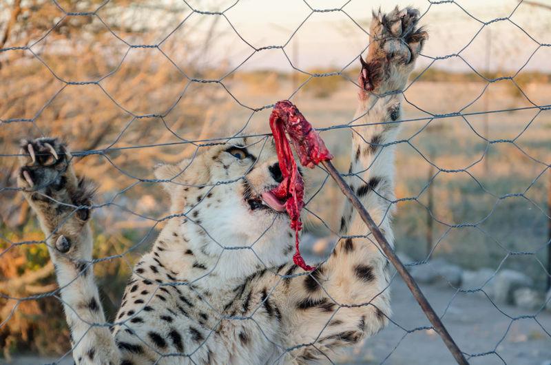 Close-Up Of Cheetah Feeding Through Metal Fence In Namibia