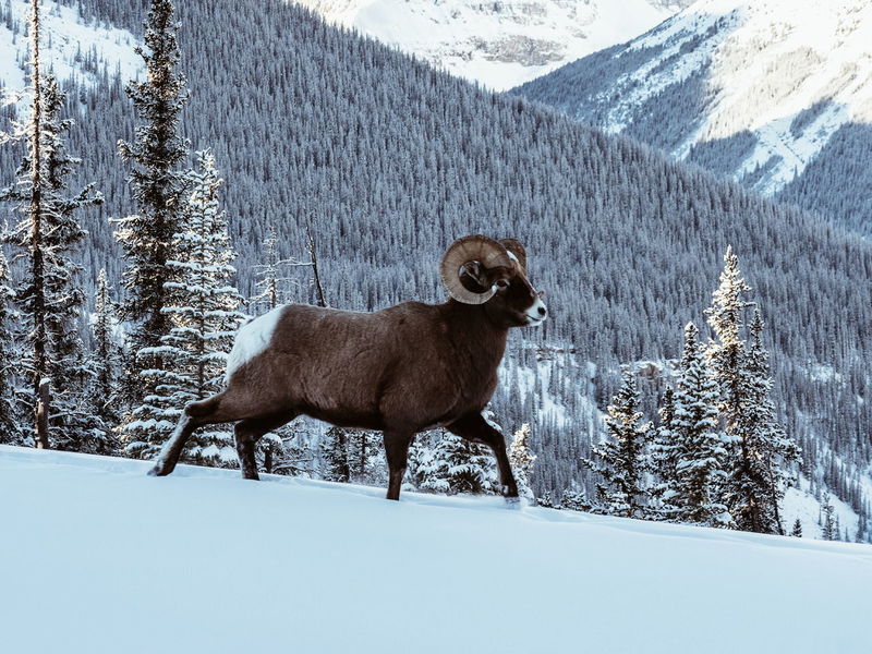 Wild Mountains Horns Big Horn Sheep RAM Majestic Eyes Snow Winter Cold Temperature One Animal Animal Wildlife Animals In The Wild Mammal Outdoors Shades Of Winter