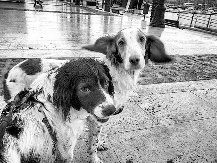 The crazy couple Americanbrittany Frenchbrittany Brittanyspaniel Dogstagram Dogsofinstagram Blackandwhitephotography