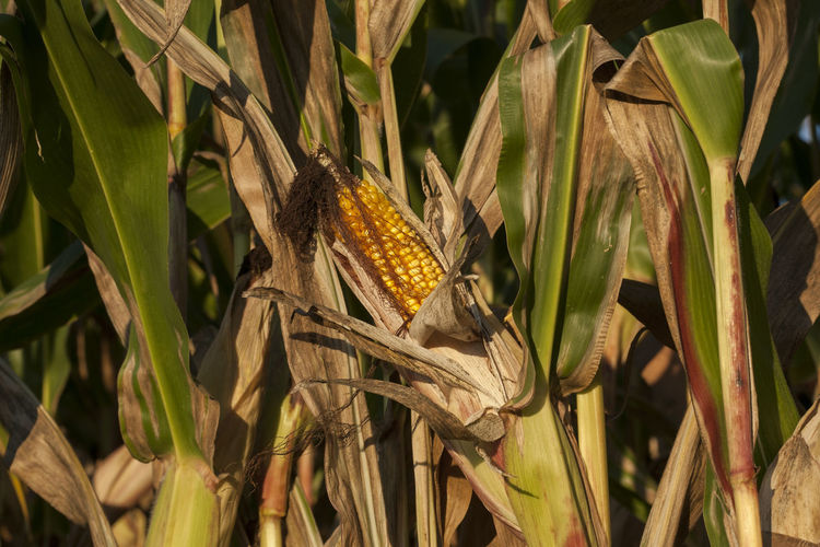 Close-up of corn on field