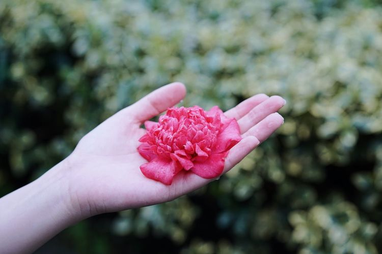 Springtime Spring Beauty In Nature Human Hand Hand Human Body Part Flower Flowering Plant Focus On Foreground Plant Holding Pink Color Fragility Freshness Nature