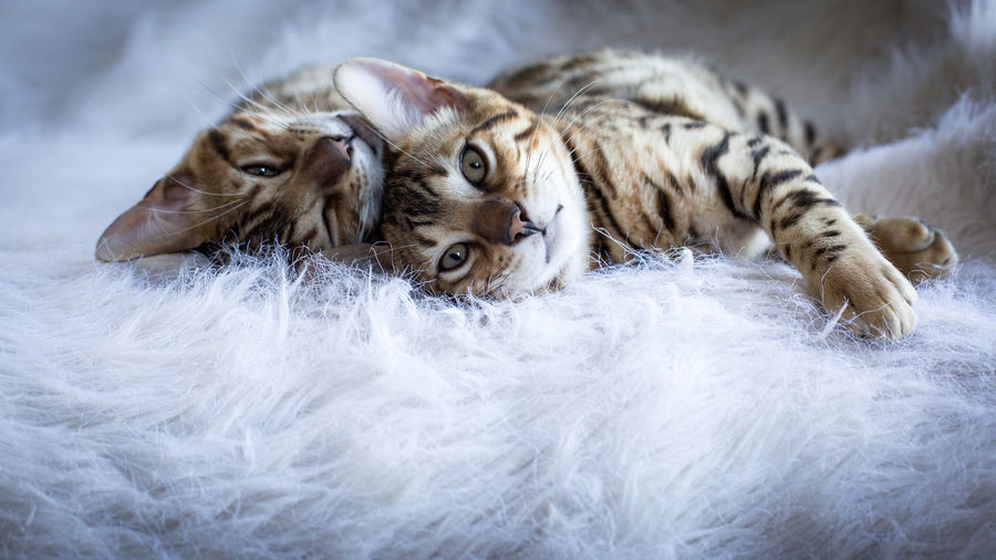 Animal Themes Bengal Bengal Cat Bengal Cats Bengaluru Close-up Day Domestic Animals Kittens Mammal Nature No People Outdoors Pets Snow Winter
