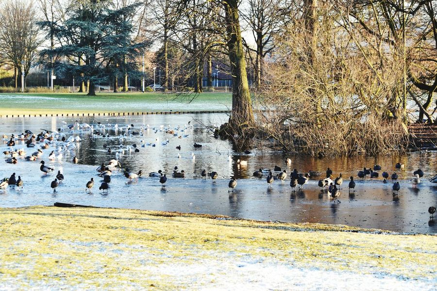 Warande Park Helmond Winter Birds On The Ice Frozen Lake Adapted To The City Wintertime Outdoors Lake Water Fowl Ducks Geese Swans Seagulls Moorhens Coots Island Trees Grass Ice Frost