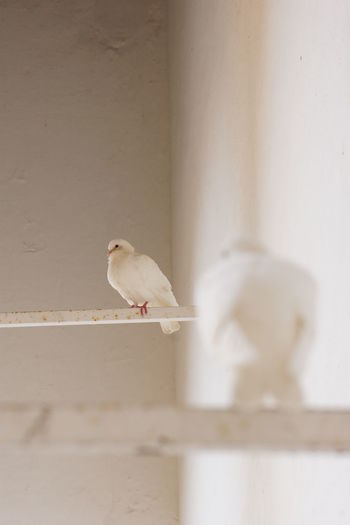 Close-up of white bird perching on wall