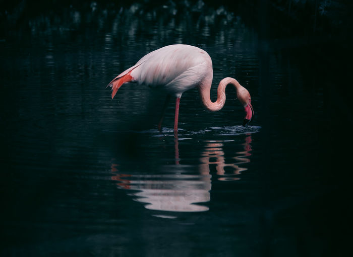 // flamingo 2.0 // Animals In The Wild EyeEm Flamingo Animal Animal Neck Animal Themes Animal Wildlife Animals In The Wild Beauty In Nature Bird Day Drinking Flamingo Freshwater Bird Lake Nature No People One Animal Outdoors Pink Color Reflection Selective Focus Vertebrate Water Waterfront The Great Outdoors - 2018 EyeEm Awards HUAWEI Photo Award: After Dark
