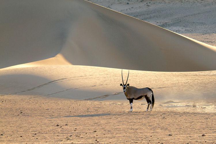 Oryx on desert