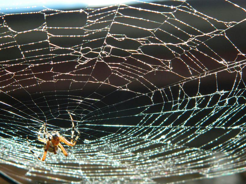 Spider Arañas Araña Telaraña Animals Animales Leslie_Gr_In