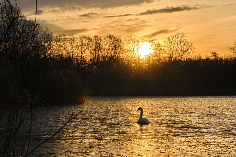 Ducks swimming in lake at sunset