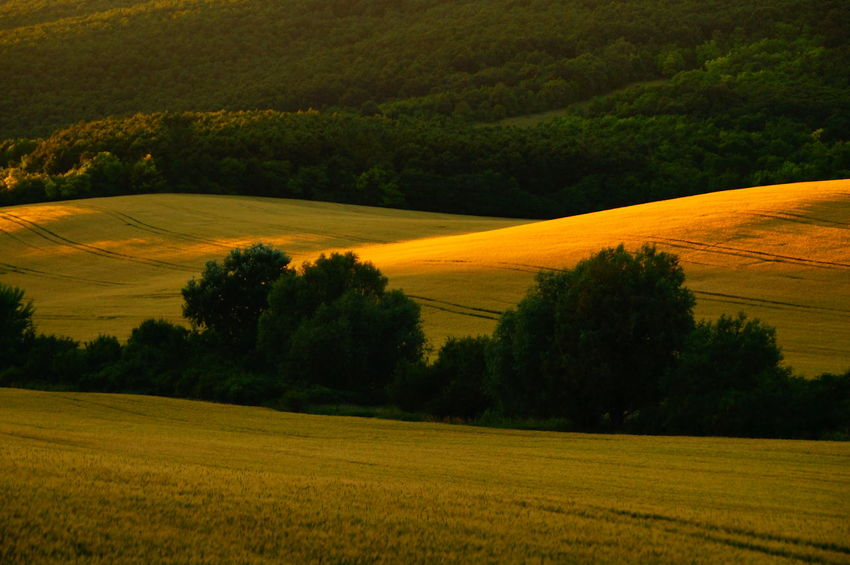 Lush hills below the mount, in the sunset Agriculture Beauty In Nature Crop  Day Field Golf Course Grass Growth Hill Landscape Nature No People Orange Color Outdoors Pilis Pilisszántó Rural Scene Scenics Sky Sunset Tranquil Scene Tranquility Tree Yellow