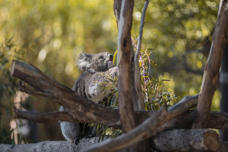 n o t h i n g t o o h a r d t o r e a c h Animal Animal Wildlife Branch Koala Mammal Nature No People Outdoors Plant Tree Zoology The Traveler - 2018 EyeEm Awards