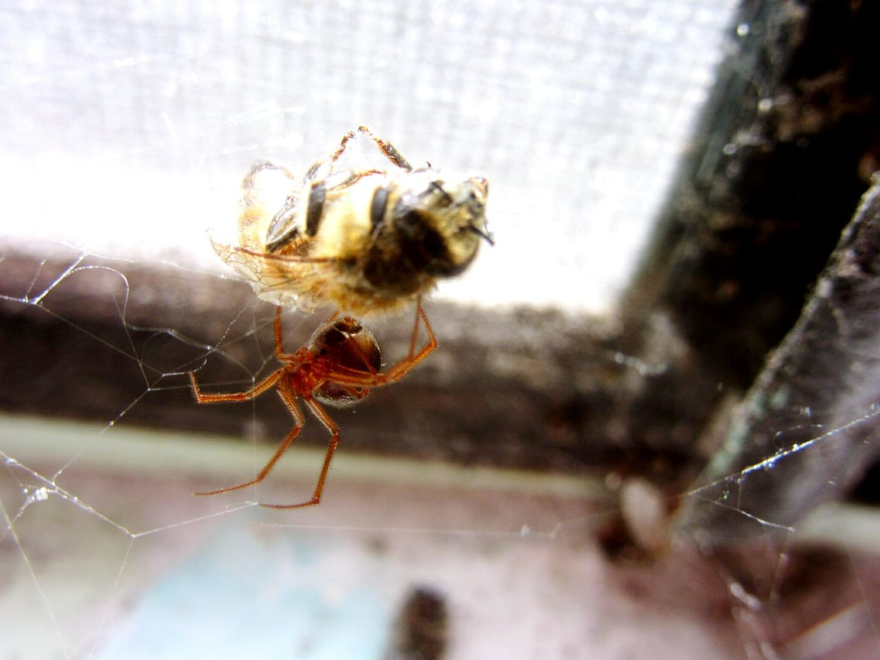 one animal, spider, animal themes, animals in the wild, insect, spider web, close-up, jumping spider, animal wildlife, day, no people, nature, outdoors
