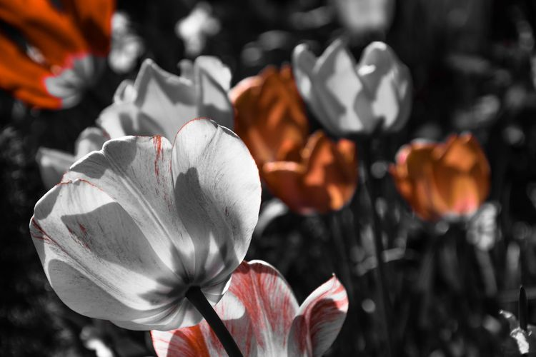 🌷 Tulips Orange Color Backgrounds Flowers EyeEm Selects EyeEm Best Shots Taking Photos Eye4photography  Master_shots EyeEm Nature Selective Focus Plant Beauty In Nature EyeEm Masterclass My Point Of View Field Silence Landscape No People Tadaa Community Botany Flower Flower Head Red Close-up Blooming In Bloom Stamen Plant Life Summer Exploratorium EyeEmNewHere