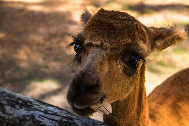 High angle portrait of alpaca on field