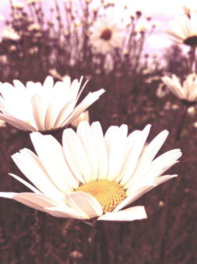 Big Daisy Happy Flowers Nature Petals