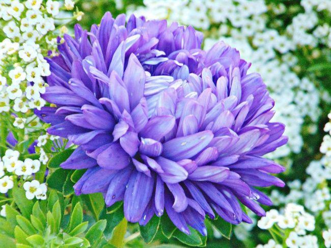 астры фиолетовый цветы растение зелень  Природа красота