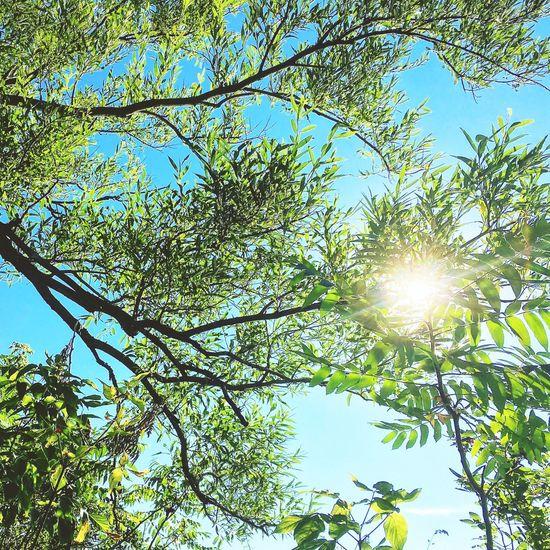 Sunlight Tree Leaves Summer Freshness