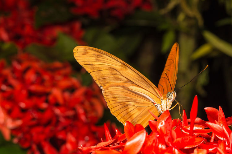 Close-up of butterfly pollinating on red flower