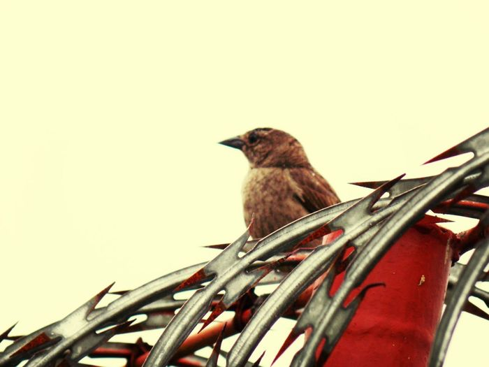 Lonesome Birdy Spikes