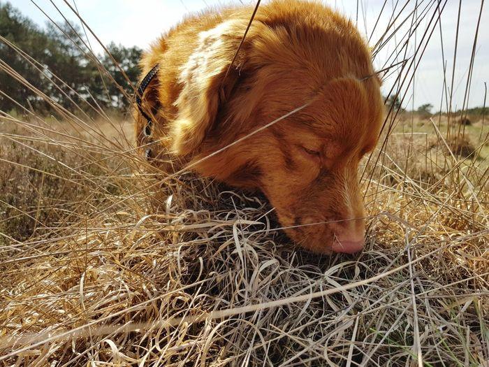 can I eat this..... Portrait Dog Novascotiaducktollingretriever Field Close-up Sky Grass Grazing