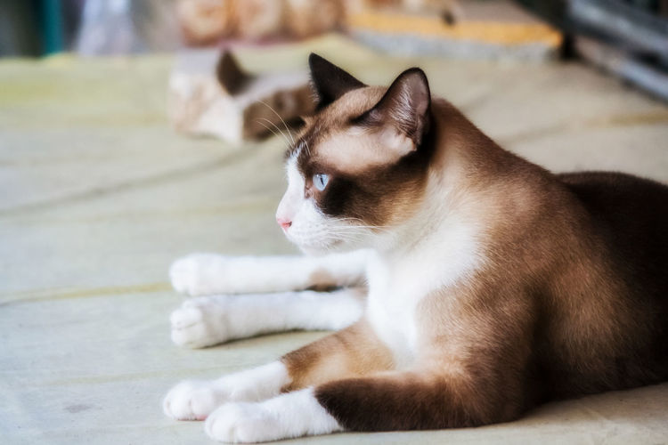 Animal Animal Themes Cat Close-up Day Domestic Domestic Animals Domestic Cat Feline Focus On Foreground Indoors  Looking Looking Away Mammal No People One Animal Pets Relaxation Vertebrate Whisker