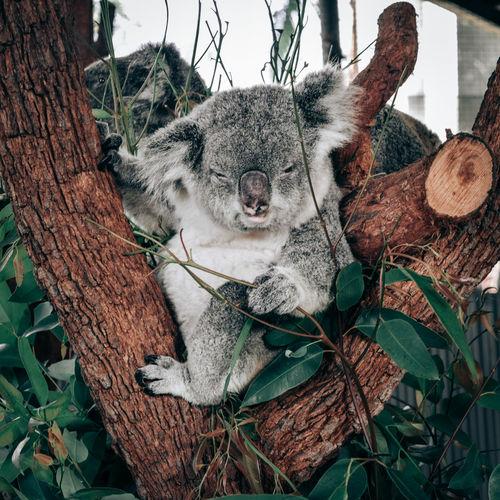 View of a koala sleeping on a tree trunk