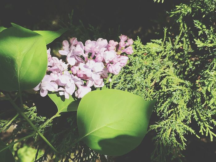 Plant Flowering Plant Flower Growth Beauty In Nature Freshness Green Color Petal Day Leaf Flower Head Vulnerability  Close-up Plant Part Nature Outdoors Inflorescence Fragility Pink Color No People