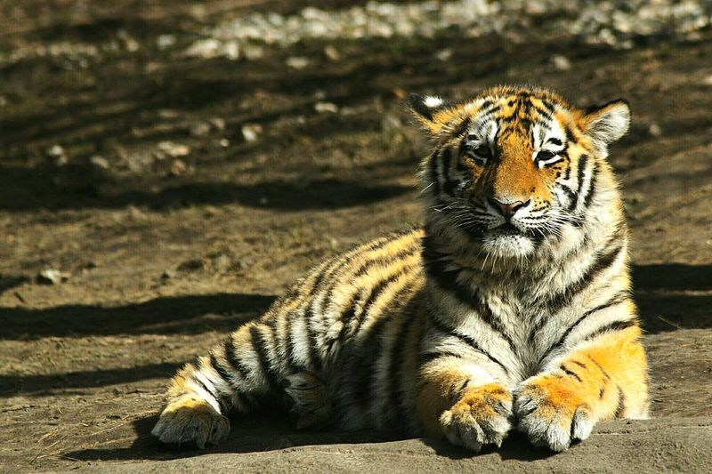 Glowing Tiger King Of The Jungle Animal Themes Animal Wildlife Wild Animal Relaxing Tiger Portrait Feline Sunlight Animal Markings Looking At Camera Close-up Safari Animals Carnivora Big Cat Undomesticated Cat Captive Animals Cat Family Threatened Species Endangered Species