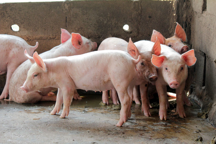 Small pigs in the stable are eating and growing. To send to the slaughterhouse. Is a pork industry To be human. Humans Industry Pork Slaughterhouse Growing Small Pigs Small Pigs In The Stable Are Eating And Growing. To Send To The Slaughterhouse. Is A Pork Industry To Be Human. Agriculture Animal Animal Family Animal Themes Day Dirt Dirty Domestic Domestic Animals Farm Group Of Animals Herbivorous Large Group Of Animals Livestock Mammal No People Outdoors Pets Pig Piglet Pink Color Standing Young Animal