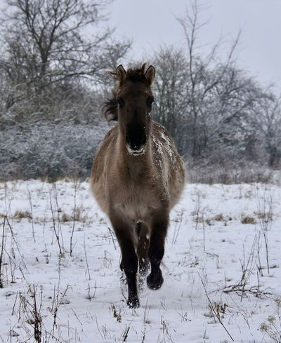 Running Free Konik Horse Horse Photography  Footsteps In The Snow Frosty Mornings Nature Photography Snow Covered Landscape White Background Wintertime Animals In The Wild Animal Photography