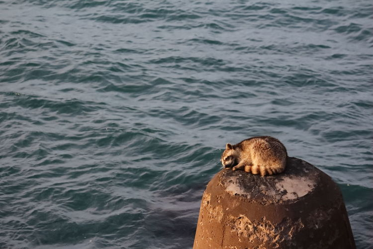 raccoon with physical injury sleeping with sea view
