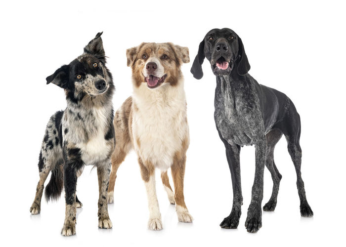 Portrait of dogs against white background