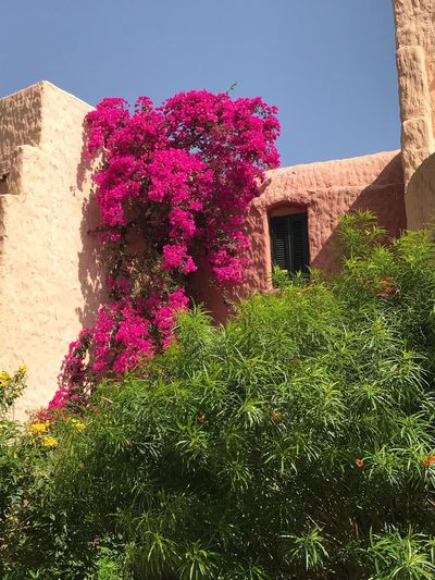 Plant Architecture Building Exterior Built Structure Nature Flowering Plant Building Sunlight Flower Growth Sky Day No People House Low Angle View Pink Color Outdoors Residential District Window Shadow