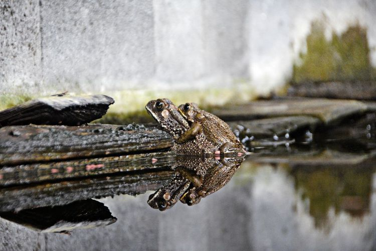 Aaaaah, you're so quite now,,, she heard your sang and finally find you ... Happy ending for you aaay ... :)) Amphibian Animal Themes Frogs Just Photography Pond Life Reflection Taking Photo Taking Photos Waiting Game